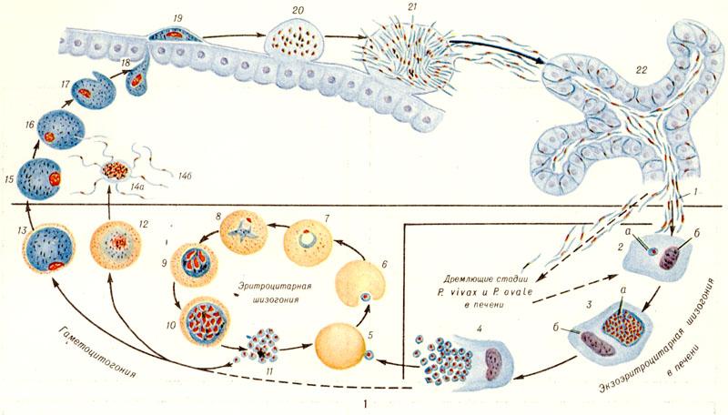 Рис. 1. Схема жизненного цикла возбудителей малярии человека: вверху — спорогония в организме комара; внизу — шизогония в организме человека; 1 —выход спорозоитов из протока слюнной железы и внедрение спорозоитов в гепатоциты; 2 — экзоэритроцитарный трофозоит (а — трофозоит, б — ядро гепатоцита); 3 — экзоэритроцитарный шизонт (а — шизонт, б — ядро гепатоцита); 4— выход экзоэритроцитарных мерозоитов из гепатоцита в плазму крови; 5 прикрепление экзоэритроцитарного (или впоследствии эритроцитарного) мерозоита к эритроциту; 6 — инвагинация эритроцитарной мембраны в месте прикрепления мерозоита; 7 — кольцевидный трофозоит в эритроците; 8— юный трофозоит в эритроците; 9 — незрелый эритроцитарный шизонт; 10 — зрелый эритроцитарный шизонт; 11 — эритроцитарные мерозоиты; 12 — мужской гаметоцит (микрогаметоцит); 13 — женский гаметоцит (макрогаметоцит); 14а — образование мужских гамет (эксфлагелляция); 14б —мужская гамета (микрогамета); 15 —женская гамета (макрогамета); 16 — слияние макро- и микрогамет; 17 —зигота; 18 — оокинета; 19 — превращение оокинеты в ооцисту под наружной оболочкой желудка комара; 20 — ооциста; 21 — выход спорозоитов из зрелой ооцисты; 22 — спорозоиты в слюнной железе комара. Пунктиром обозначено внедрение брадиспорозоитов в печень, а затем в гепатоцит.