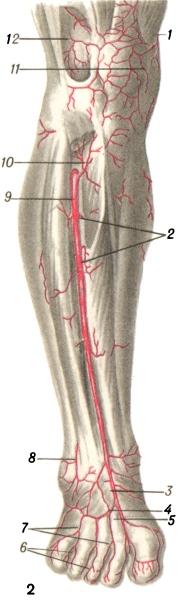 Рис. 2. Артерии передней поверхности голени и тыла стопы