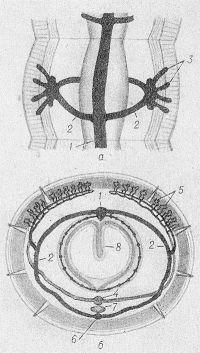 Рис. 1. Схематическое изображение кровеносных сосудов сегмента тела пресноводного моллюска (а) и земляного червя (б): 1— спинной сосуд; 2— боковые анастомозы (петли); 3— отростки сосудов, входящие в эпидермис; 4— брюшной сосуд; 5— капилляры в стенках тела (в мускулатуре); 6— продольный сосуд под нервной цепочкой; 7— брюшная нервная цепочка; 8— продольная складка слизистой оболочки кишки.