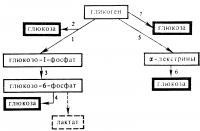 Рис. 2. Схема реакций гликогенолиза до глюкозы; цифрами обозначены реакции, катализируемые следующими ферментами: 1 — фосфорилазой; 2 — амило-1,6-глюкозидазой; 3 — фосфоглюкомутазой (КФ 2.7.5.1): 4 — глюкозо- 6-фосфатазой; 5 — альфа-амилазой; 6 — нейтральными альфа-глюкозидазами; 7 —- кислой альфа-глюкозидазой (гамма-амилазой); пунктиром обозначена реакция образования лактата из глюкозо-6-фосфата в мышцах в условиях отсутствия активности глюкозо-6-фосфатазы.
