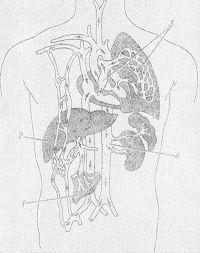 Рис. 3. Схематическое изображение возможных путей проникновения эхинококка в различные органы: из пищеварительного тракта (1) в печень (2), в малый круг кровообращения и легкие (3), большой круг кровообращения (4) и другие органы (стрелками обозначены пути переноса онкосфер с током крови).