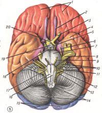 Рис. 5. Основание головного мозга: 1 — lobi frontales; 2 — tractus olfactorius; 3— n. opticus; 4 — lobus temporalis; 5—n. oculomotorius; 6—n. trochlearis; 7 — pons; 8 — n. trigeminus; 9 —n. abducens; 10 — n. facialis et n. vestibulocochlearis; 11 —n. glossopharyngeus; 12 — n. vagus; 13— n. accessorius; 14 — cerebellum; 15 — lobi occipitales; 16 — pyramides; 17—n. hypoglossi; 18— corpus mamillare; 19 — tuber cinereum et infundibulum; 20 — chiasma opticum.