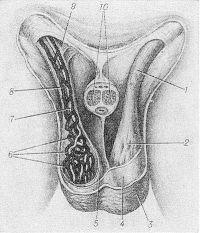 Рис. 1. Схематическое изображение строения и топографии дистального отдела семенного канатика (передняя стенка мошонки и половой член удалены, справа отпрепарированы элементы семенного канатика): 1 — семенной канатик (дистальный отдел); 2 — мышца,поднимающая яичко, и ее фасция; 3 — кожа мошонки; 4 — мясистая оболочка; 5 — наружная семенная фасция; 6 — лозовидное венозное сплетение; 7 — яичковая артерия; 8 — семявыносящий проток; 9 — поверхностное паховое кольцо; 10 — пещеристые тела полового члена (разрез).