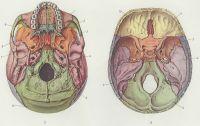 Рис. 3 и 4. Череп человека: рис. 3 — наружная поверхность основания черепа; рис. 4 — внутренняя поверхность основания черепа: 1— верхняя челюсть; 2— скуловая кость- 3— клиновидная кость: 4— височная кость; 5— теменная кость; 6— затылочная кость; 7— сошник; 8— небная кость; 9— лобная кость; 10— решетчатая кость.