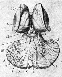 Рис. 2. Схематическое изображение мозжечка (горизонтальный разрез) и пластинки крыши среднего мозга: 1 — пластинка крыши; 2 — мозжечково-красноядерный путь; 3 — ядро шатра; 4 — листки мозжечка; 5 — шаровидное ядро; 6 — пробковидное ядро; 7 — мозговое тело; 8 — белые пластинки; 9 — зубчатое ядро; 10 — верхняя мозжечковая ножка; 11 — уздечка верхнего мозгового паруса; 12 — шишковидное тело; 13 — таламус; 14 — третий желудочек; 15 — головка хвостатого ядра.