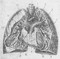 Рис. 1. Сосуды малого круга кровообращения на фоне сердца и легких (плевра и ткань легких частично удалены): 1 — дуга аорты (обрезана); 2 — левая легочная артерия; 3 — левая верхняя легочная вена; 4 — бронхи; 5 — левый желудочек; 6 — левое предсердие; 7 — легочный ствол; 8 — правый желудочек; 9 —правое предсердие; 10 — восходящая аорта (обрезана); 11 — правая верхняя легочная вена; 12 — правая легочная артерия.