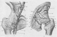 Рис. 3. Схема кровоснабжения тазобедренного сустава: а — вид спереди (1 — общая подвздошная артерия; 2 — анастомозы между ветвями внутренней и наружной подвздошных артерий; 3 — внутренняя подвздошная артерия; 4 — ветвь бедренной артерии; 5 — запирательная артерия; 6 — ветвь запирательной артерии; 7 — медиальная артерия, огибающая бедренную кость; 8 — глубокая артерия бедра; 9 — бедренная артерия; 10, 11, 12 — ветви латеральной артерии, огибающей бедро, анастомозирующие с ветвями верхней и нижней ягодичных артерий); б — вид сзади (7, 2,3 — ветви верхней ягодичной артерии, анастомозирующие с ветвями медиальной артерии, огибающей бедро; 4 — ветвь нижней ягодичной артерии; 5, 6, 8 — ветви медиальной артерии, огибающей бедро; 7 — анастомоз между внутренней лобковой и запирательной артериями; 9 — соединительная ветвь из мышечной ветви нижней ягодичной артерии; 10 — ветвь внутренней половой артерии, проходящей на уровне прикрепления капсулы тазобедренного сустава; 11 — нижняя ягодичная артерия; 12 — внутренняя половая артерия; 13 — нижняя ветвь верхней ягодичной артерии; 14 — верхняя ветвь верхней ягодичной артерии; 15 — верхняя ягодичная артерия).