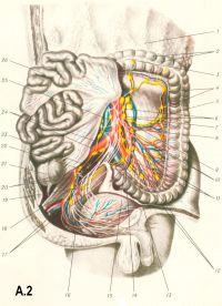 Рис. A.2. Сосуды и нервы левого отдела толстой кишки: 1 — большой сальник; 2 — гаустры ободочной кишки; 3 — поперечная ободочная кишка; 4 — левые ободочные лимфатические узлы; 5 — нисходящая ободочная кишка; 6 — поясничные лимфатические узлы; 7 — нижняя брыжеечная вена; 8 — левая ободочная артерия; 9 — брюшная аорта; 10 — нижняя брыжеечная артерия и нижнее брыжеечное сплетение; 11 — сигмовидные артерии; 12 — верхнее подчревное сплетение; 13 — сигмовидная ободочная кишка; 14 — верхняя прямокишечная артерия; 15 — мочевой пузырь; 16 — нижняя мочепузырная артерия; 17 — нижнее подчревное сплетение; 18 — крестцовое сплетение; 19 — средняя прямокишечная артерия; 20 — внутренние подвздошные артерия и вена; 21 — слепая кишка; 22 — внутренний подвздошный лимфатический узел; 23 — симпатический ствол; 24 — общая подвздошная артерия и вена; 25 — нижняя полая вена; 26 — тонкая кишка.