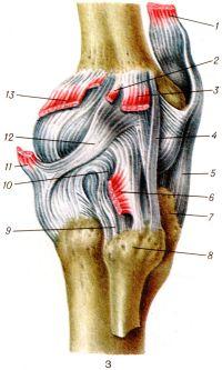 Рис. 3. Коленный сустав (правый) сбоку: 1 — четырехглавая мышца бедра; 2 — подошвенная мышца; 3 — латеральная головка икроножной мышцы; 4 — малоберцовая коллатеральная связка; 5 — связка надколенника; 6 — подколенная мышца; 7 — бугристость большеберцовой кости; 8 — головка малоберцовой кости; 9 — задняя связка головки малоберцовой кости; 10 — дугообразная надколенная связка; 11 — полуперепончатая мышца; 12 — косая подколенная связка; 13 — медиальная головка икроножной мышцы.