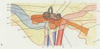 Рис. 4. Схематическое изображение взаимоотношений правого среднего уха с внутренним ухом и прилежащими сосудами и нервами (вид снаружи). Оранжевым цветом обозначена проекция образований среднего уха, зеленым — внутреннего уха, голубым и синим — венозные сосуды, розовым и красным — артерии: 1 — передний полукружный канал; 2 — преддверие; 3 — улитка; 4 — узел тройничного нерва; 5 — евстахиева труба; 6 — медиальная пластинка крыловидного отростка; 7 — барабанная полость; 8 — внутренняя сонная артерия; 9 — шиловидный отросток; 10 — внутренняя яремная вена; 11 — лицевой нерв; 12 — сосцевидный отросток; 13— наружное слуховое отверстие; 14 — латеральный полукружный канал; 15 — сигмовидный синус; 16 — сосцевидная пещера; 17 — задний полукружный канал; 18 — пирамида височной кости
