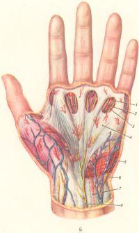 Рис. 5. Сосуды и нервы ладонной поверхности левой кисти: 1 — собственная ладонная пальцевая артерия; 2 — общая ладонная пальцевая артерия; 3 — собственный ладонный пальцевой нерв; 4 — ладонный апоневроз; 5 — короткая ладонная мышца; 6 — ладонная ветвь локтевого нерва; 7 — локтевая артерия; 8 — ладонная ветвь срединного нерва; 9 — ветвь латерального кожного нерва предплечья.