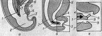 Рис. 1. Схематическое изображение начальной, средней и конечной стадий разделения клоаки и образования промежности в эмбриональном периоде