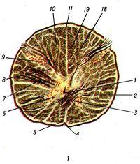 Рис. 1. Разрез на уровне перехода спинного мозга в продолговатый.