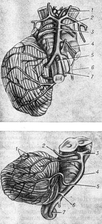 Рис. 3. Макропрепараты кровеносных сосудов ствола головного мозга и мозжечка: вверху — базальная поверхность ствола головного мозга и правого полушария мозжечка (1 — задняя соединительная артерия, 2 —верхняя мозжечковая артерия, 3 — базилярная артерия, 4 — передняя нижняя мозжечковая артерия, 5 — передняя спинномозговая артерия, 6 — задняя нижняя мозжечковая артерия, 7 — позвоночная артерия); внизу — боковая поверхность ствола головного мозга и мозжечка (1 — ветви верхней мозжечковой артерии, 2 — ветвь задней мозговой артерии, 3 — задняя мозговая артерия, 4 — базилярная артерия, 5 — передняя нижняя мозжечковая артерия, 6 — задняя нижняя мозжечковая артерия, 7 — позвоночная артерия).