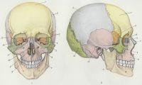 Рис. 1 и 2. Череп человека: рис. 1 — вид спереди, рис. 2 — вид сбоку; 1— лобная кость; 2— теменная кость; 3— клиновидная кость; 4— слезная кость; 5— скуловая кость; 6— верхняя челюсть; 7— нижняя челюсть; 8— сошник; 9— нижняя носовая раковина; 10 и 12— решетчатая кость; 11— носовая кость; 13— височная кость; 14— затылочная кость.