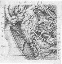 Рис. 4. Топография околоушной железы: 1 — ушно-височный нерв; 2 — поверхностные височные артерии и вена; 3 — скуловая дуга; 4 — височная ветвь лицевого нерва; 5 — скуловая ветвь лицевого нерва; 6 — околоушный проток; 7 — щечные ветви лицевого нерва; 8 — лицевые артерии и вена; 9 — жевательная мышца; 10 — краевая ветвь лицевого нерва; 11 — подчелюстная железа; 12 — шейная ветвь лицевого нерва; 13 — наружная сонная артерия; 14 — подкожная мышца шеи; 15 — внутренняя яремная вена; 16 — грудино-ключично-сосцевидная мышца; 17 — наружная яремная вена; 18 — v. retromandibularis; 19 — околоушная железа; 20 — верхнечелюстная артерия; 21— околоушное сплетение лицевого нерва; 22 — лицевой нерв; 23 — ушная раковина; 24 — добавочная околоушная железа.