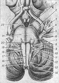 Рис. 1. Схематическое изображение передней поверхности мозгового ствола и мест выхода корешков черепно-мозговых нервов