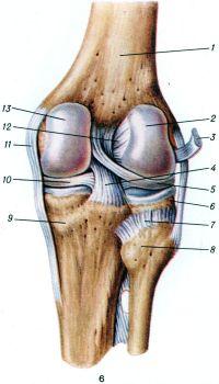 Рис. 6. Коленный сустав (правый) сзади (суставная капсула удалена): 1 — бедренная кость; 2 — латеральный мыщелок бедра; 3 — сухожилие подколенной мышцы; 4 — задняя крестообразная связка; 5 — латеральный мениск; 6 — латеральный мыщелок большеберцовой кости; 7 — задняя связка головки малоберцовой кости; 8 — головка малоберцовой кости; 9 — медиальный мыщелок большеберцовой кости; 10 — медиальный мениск; 11 —большеберцовая коллатеральная связка; 12 — передняя крестообразная связка; 13 — медиальный мыщелок бедра.