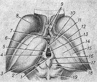 Рис. 1. Схематическое изображение промежуточного и среднего мозга (вид сверху)
