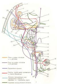 Рис. 1. Схема главных связей экстрапирамидальной системы (по С. и О. Фогт)