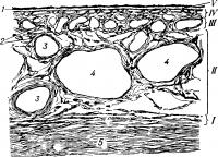 Схематическое изображение гистологического строения собственно сосудистой оболочки глаза (поперечный разрез): I — супрахориоидальная пластинка; II — слой крупных сосудов (слой Галлера); III — слой средних сосудов (слой Заттлера); IV — хориокапилляр-ный слой; V — стекловидная пластинка (мембрана Бруха); 1 — пигментный эпителий сетчатки; 2 — пигментные клетки; 3 — артерии; 4 — вены; 5 — склера.