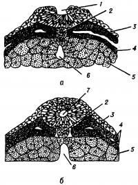 Рис. 2. Схема поперечного разреза через мозговой желобок (а) и мозговую трубку (б) тритона: 1 — мозговой желобок; 2 — хорда; 3 — эктодерма; 4 — мезодерма; 5 — энтодерма; 6 — пищеварительная трубка; 7 — мозговая трубка. По Гертвигу.