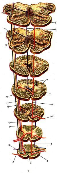 Рис. 7. Проводящие пути продолговатого мозга и их связь с различными его образованиями