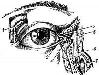 Рис. 1. Топография слезных органов: 1 — слезная железа; 2 — слезное мясцо; 3 и 4 — верхний и нижний слезные канальцы; 5 — слезный мешок; 6 — носослезный канал; 7 — нижняя носовая раковина.