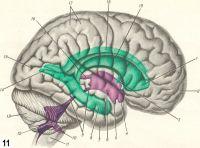Рис. 11. Проекция желудочков головного мозга (зеленый и фиолетовый цвет) на его поверхности (вид сбоку): 1 — передний рог бокового желудочка; 2 — лобная доля; 3 — межжелудочковое отверстие; 4 — зрительное углубление третьего желудочка; 5 —углубление воронки третьего желудочка; 6 — третий желудочек; 7 —височная доля; 8— нижний рог бокового желудочка; Р —водопровод мозга; 10 — латеральный карман четвертого желудочка; 11 — продолговатый мозг; 12 — четвертый желудочек; 13 — мозжечок; 14 — задний рог бокового желудочка; 15 — затылочная доля; 16 — эпифизарное углубление; 17 — теменная доля; 18 — левый боковой желудочек; 19 — правый боковой желудочек.
