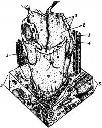 Рис. 5. Схематическое изображение строения стенки лимфатического капилляра с элементами окружающей соединительной ткани; 1 — эндотелиоцит; 2 — просвет лимфатического капилляра; 3 — коллагеновые протофибриллы соединительной ткани; 4—«якорные» филаменты; 5 — соединительная ткань.
