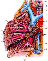 Рис. 3. Кровеносные сосуды легких: 1 — внутренняя яремная вена; 2 — подключичная вена; 3 — плечеголовной ствол; 4 —правая плечеголовная вена; 5 —верхняя полая вена; 6 — легочная артерия; 7 — притоки легочных вен; 8 —непарная вена; 9 — нижняя полая вена (отрезана).