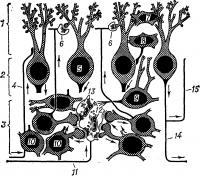 Рис. 5. Схема организации коры мозжечка: 1 — молекулярный слой; 2 — слой грушевидных нейроцитов; 3 — зернистый слой; 4 — лиановидное волокно; 5 — грушевидный нейроцит (клетка Пуркинье); 6 — синапс с шипиком; 7 — звездчатый нейроцит; 8 — корзинчатый нейроцит; 9 — большой зерновидный нейроцит (клетка Гольджи); 10 — малый зерновидный нейроцит; 11 — моховидное волокно; 12 — митохондрия; 13 — синаптические пузырьки; 14 — аксон грушевидного нейроцита; 15 — возвратная коллатеральная ветвь аксона; ядра нейроцитов окрашены в черный цвет, тела — заштрихованы. Стрелки указывают направление движения нервных импульсов.