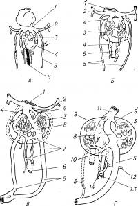 Рис. 1. Развитие воротной вены по стадиям (по Паттену)