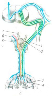 Рис. 4. Схема иннервации тонкой кишки: 1 и 5 — внутренностный нерв; 2 — чревный узел; 3 — межмышечное (ауэрбахово) сплетение; 4 — подслизистое сплетение; 6 — блуждающий нерв 7 — диафрагмальный нерв. Чувствительные волокна — синие; эфферентные симпатические — зеленые; эфферентные парасимпатические — красные (преганглионарные волокна — сплошная линия, постганглионарные — пунктирная).