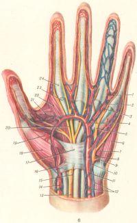 Рис. 6. Сосуды и нервы ладонной поверхности левой кисти: 1 — собственная ладонная пальцевая артерия; 2 — общая ладонная пальцевая артерия; 3— собственный ладонный пальцевой нерв (из локтевого нерва); 4 — поверхностная ладонная дуга; 5 — общий ладонный пальцевой нерв (из локтевого нерва); 6 — мышца, отводящая мизинец; 7 — короткий сгибатель мизинца; 8 — глубокая ладонная ветвь локтевой артерии; 9 — глубокая ладонная ветвь локтевого нерва; 10 — ладонная ветвь локтевого нерва; 11 — локтевая артерия; 12 — локтевые вены; 13 — срединный нерв; 14 — лучевая артерия; 15 — ладонная ветвь срединного нерва; 16 — поверхностная ладонная ветвь лучевой артерии; 17 — удерживатель сухожилий сгибателей; 18 — короткая мышца, отводящая большой палец; 19 — короткий сгибатель большого пальца; 20 — общий пальцевой ладонный нерв (срединного нерва); 21 — мышца, приводящая большой палец; 22 — червеобразная мышца; 23 — сухожилие поверхностного сгибателя пальцев; 24 — фиброзное влагалище пальцев.