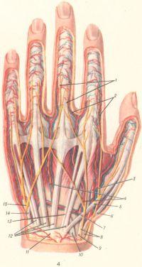 Рис. 4. Сосуды и нервы тыльной поверхности левой кисти: 1 — тыльные пальцевые нервы; 2 — тыльные пальцевые артерии; 3 — лучевая артерия; 4 — тыльные пястные артерии; 5 — сухожилие длинного разгибателя большого пальца; 6 — сухожилие короткого разгибателя большого пальца; 7 — тыльная запястная ветвь лучевой артерии; 8 — разветвления поверхностной ветви лучевого нерва; 9 — сухожилие длинного лучевого разгибателя запястья; 10 — сухожилие короткого лучевого разгибателя запястья; 11—удерживатель разгибателей; 12 — сухожилия разгибателей пальцев; 13 — сухожилие разгибателя указательного пальца; 14 — сухожилие локтевого разгибателя запястья; 15 — тыльная ветвь локтевого нерва.