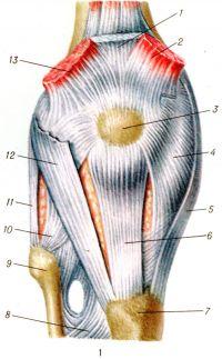 Рис. 1. Коленный сустав (правый) спереди: 1 — сухожилие прямой мышцы бедра; 2 — медиальная широкая мышца бедра; 3 — надколенник; 4 — медиальная поддерживающая связка надколенника; 5 — большеберцовая коллатеральная связка; 6 — связка надколенника; 7 — бугристость большеберцовой кости; 8 — межкостная перепонка голени; 9 — головка малоберцовой кости; 10 — передняя связка головки малоберцовой кости; 11 — малоберцовая коллатеральная связка; 12 — латеральная поддерживающая связка надколенника; 13 — латеральная широкая мышца бедра.