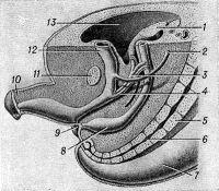 Рис. 1. Схематическое изображение хвостового отдела зародыша человека на восьмой неделе развития (разделение клоаки на мочеполовой синус и прямую кишку)