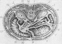 Рис. 8. Схематическое изображение горизонтального распила туловища на уровне I поясничного позвонка (по Пирогову): 1 — аорта; 2 — двенадцатиперстно-тощий изгиб; 3 — почка; 4 — левый (селезеночный) изгиб ободочной кишки; 5 — нижний участок желудочно-селезеночной связки; 6 — поперечная ободочная кишка; 7 — желудок; 8 — сальниковая сумка; 9 — брыжейка поперечной ободочной кишки; 10 — головка поджелудочной железы; 11 — поперечная ободочная кишка; 12 — правый (печеночный) изгиб поперечной ободочной кишки; 13 — правая доля печени; 14 — нисходящая часть двенадцатиперстной кишки; 15 — нижняя полая вена; 16 — тело I поясничного позвонка.
