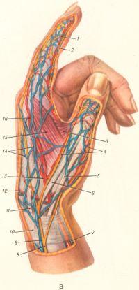 Рис. 8. Нервы, артерии и вены левой кисти (лучевая поверхность): 1 — собственная пальцевая ладонная артерия; 2 — собственный пальцевой нерв; 3 — мышца, приводящая большой палец; 4 — тыльные пальцевые нервы; 5 — сухожилие короткого разгибателя большого пальца; 6 — сухожилие длинного разгибателя большого пальца; 7 — лучевая артерия; 8 — поверхностная ветвь лучевого нерва; 9 — латеральная подкожная вена руки; 10 — удерживатель сухожилий разгибателей; 11 — сухожилие длинного лучевого разгибателя запястья; 12 — тыльная запястная ветвь лучевой артерии; 13 — лучевая артерия; 14 — венозная сеть тыла кисти; 15 — тыльная межкостная мышца; 16 — первая тыльная пястная артерия.