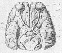 Рис. 1. Зрительные нервы и зрительные тракты на нижней поверхности мозга: 1 - глазное яблоко; 2 — зрительный нерв; 3 — обонятельный тракт; 4 — зрительный перекрест; 5 — зрительный тракт; 6 — ножки мозга; 7 — сосочковые тела; 8 — гипофиз.