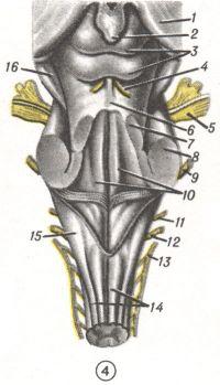 Рис. 4. Ствол головного мозга (сверху): 1 — thalamus; 2 — corpus pineale; 3 — lamina tecti; 4 — n. trochlearis; 5 — n. trigeminus; 6 — velum medullare sup.; 7 — pedunculus cerebelli sup.; 8 — pedunculus cerebelli medius; 9 —n. facialis et n. vestibulocochlearis; 10 — fossa rhomboidea; 11 — n. glossopharyngeus; 12—n. vagus; 13 — n. accessorius; 14 — medulla oblongata; 15 — pedunculus cerebelli inf.; 16 — pedunculus cerebri.