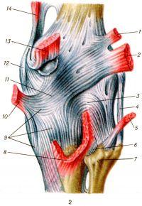 Рис. 2. Коленный сустав (правый) сзади: 1 — подошвенная мышца; 2 — латеральная головка икроножной мышцы; 3 — дугообразная подколенная связка; 4 — малоберцовая коллатеральная связка; 5 — двуглавая мышца бедра; 6 — задняя связка головки малоберцовой кости; 7 — головка малоберцовой кости; 8 — подколенная мышца; 9 — пучки сухожилия полуперепончатой мышцы (глубокой гусиной лапки); 10 — полуперепончатая мышца; 11 — косая подколенная связка; 12 — большеберцовая коллатеральная связка; 13 — медиальная головка икроножной мышцы; 14 — большая приводящая мышца.