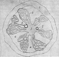 Рис. 1. Расположение кровеносных сосудов в костном мозге: 1— кость; 2— артерия; 3— центральная вена; 4— пространство, где расположена гемопоэтическая ткань; 5— венозный синус (схема)..