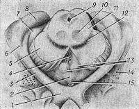 Рис. 2. Схематическое изображение метаталамуса, гипоталамуса (вид снизу и сзади) и среднего мозга (на разрезе)