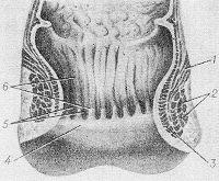 Рис. 1. Схематическое изображение стенки заднего прохода (в разрезе): 1 — мышца, поднимающая задний проход; 2 — наружный сфинктер заднего прохода; 3 — внутренний сфинктер заднего прохода; 4 — гребешковая линия; 5 — заднепроходные пазухи; 6 — заднепроходные столбы.
