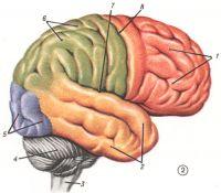Рис. 2. Головной мозг (сбоку): 1 — lobus frontalis; 2 — lobus temporalis; 3—medulla oblongata; 4 — cerebellum; 5 — lobus occipitalis; 6 — lobus parietalis; 7 —sulcus lateralis; 8 — sulcus centralis.