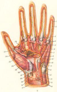 Рис. 7. Глубокие артерии и нервы левой кисти: 1 — собственная ладонная пальцевая артерия; 2 — собственный ладонный пальцевой нерв; 3 — общая ладонная пальцевая артерия; 4 — сухожилия поверхностного и глубокого сгибателей пальцев; 5 — червеобразная мышца; 6 — ладонная межкостная мышца; 7 — ладонная пястная артерия; 8 — мышца, противопоставляющая мизинец; 9 — мышца, отводящая мизинец; 10 — глубокая ладонная ветвь локтевой артерии; 11 — глубокая ладонная ветвь локтевого нерва; 12 — поверхностная ладонная ветвь локтевого нерва; 13 — локтевой нерв (ладонная ветвь); 14 — локтевая артерия; 15 — локтевой сгибатель запястья; 16 — ладонная сеть запястья; 17 — квадратный пронатор; 18 — лучевая артерия; 19 — сухожилие лучевого сгибателя запястья; 20 — поверхностная ладонная ветвь лучевой артерии; 21 — удерживатель сухожилий сгибателей; 22 — короткая отводящая мышца большого пальца; 23 — мышца, противопоставляющая большой палец; 24 — короткий сгибатель большого пальца; 25 — мышца, приводящая большой палец; 26 — глубокая ладонная дуга; 27 — главная артерия большого пальца; 28 — первая межкостная тыльная мышца.