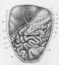 Рис. 10. Схематическое изображение положения кишечника у ребенка 1,5 лет: 1 — желудок; 2 — нижний край печени; 3 — левый изгиб ободочной кишки; 4 — большой сальник; 5 — поперечная ободочная кишка; 6 — нисходящая ободочная кишка; 7 — тощая кишка; 8 — сигмовидная, ободочная кишка; 9 — подвздошная кишка; 10 — червеобразный отросток; 11 — слепая кишка; 12 — восходящая ободочная кишка; 13 — круглая связка печени; 14 — правая доля печени.