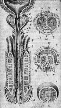 Рис. 1. Схематическое изображение полового члена в продольном (а — через мочеиспускательный канал) и поперечном разрезе (б — через тело полового члена, в — через заднюю часть головки, г — через переднюю часть головки): 1 — мочевой пузырь; 2 — предстательная маточка; 3 — предстательная железа; 4 — семенной холмик (бугорок); 5 — гребень мочеиспускательного канала; 6 — бульбоуретральная железа; 7 — луковица полового члена; 8 — слизистая оболочка; 9 — лакуны мочеиспускательного канала; 10 — ладьевидная ямка; 11 — наружное отверстие мочеиспускательного канала; 12 — перегородка полового члена; 13 — губчатое тело; 14 — мочеиспускательный канал; 15 — глубокая артерия полового члена; 16 — пещеристое тело; 17 — перегородка головки.